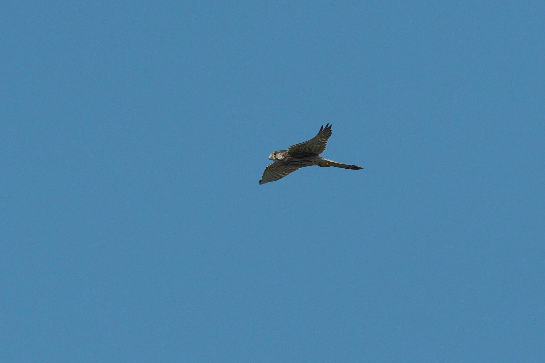 遠くを飛んで行く若いハヤブサ_c0383758_17474863.jpg