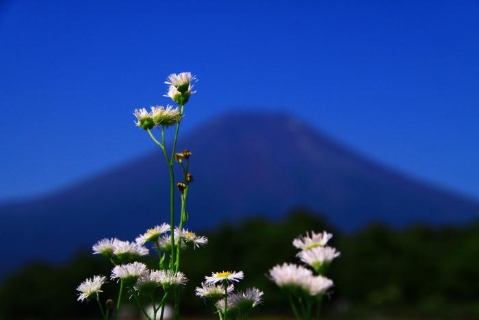 令和元年8月の富士(7)花の都公園の野の花と富士_e0344396_13354624.jpg