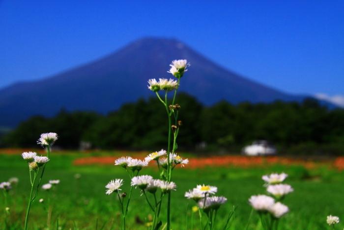 令和元年8月の富士(7)花の都公園の野の花と富士_e0344396_13355339.jpg