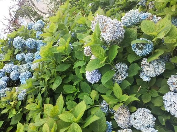 お墓参りの花のアレンジと紫陽花は・・・_f0316507_21054093.jpg