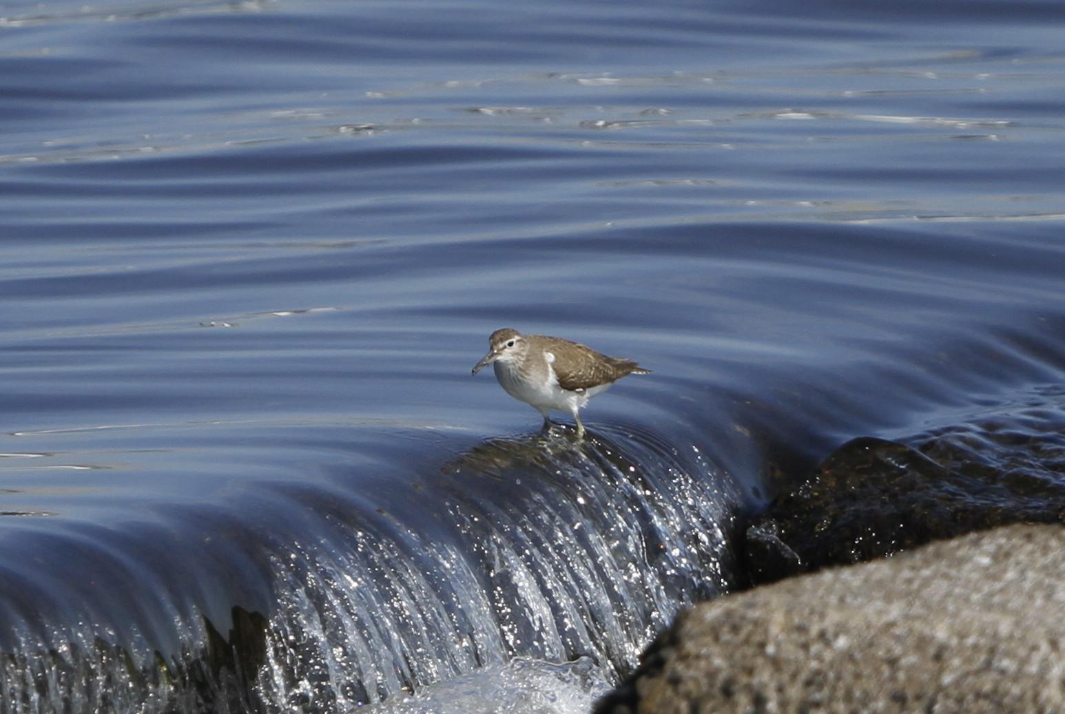 大きな川でイソシギに逢う_f0239515_14525842.jpg