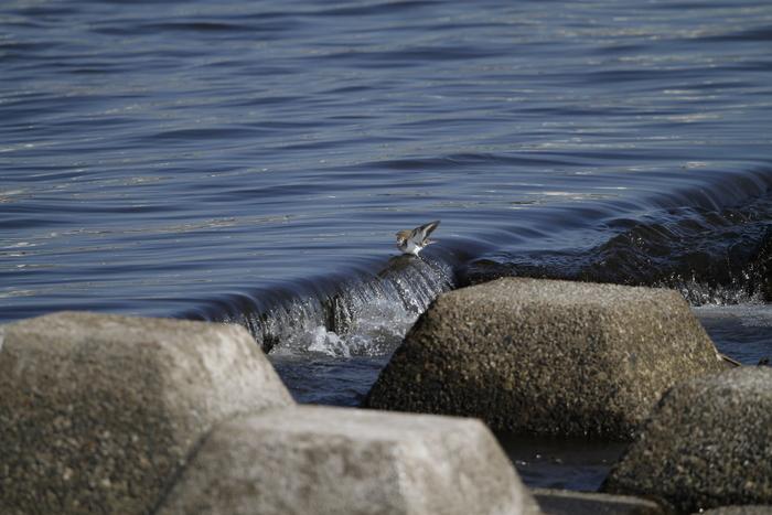 大きな川でイソシギに逢う_f0239515_145358100.jpg