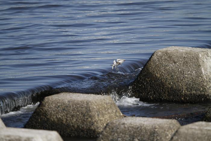 大きな川でイソシギに逢う_f0239515_14563052.jpg