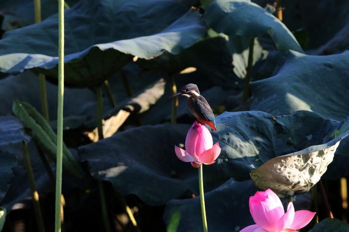 蓮池のカワセミ その11_f0239515_15263287.jpg