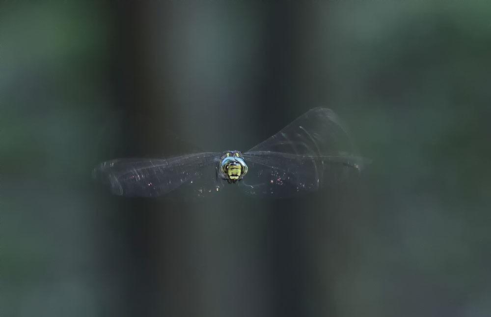 ルリボシヤンマ 飛翔_f0324026_10065400.jpg