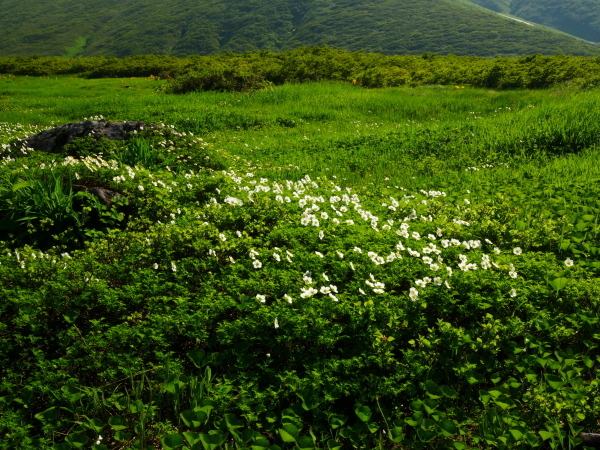 夏の月山 チングルマのお花畑_a0351368_22355285.jpg