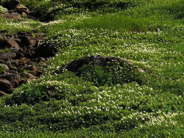 夏の月山 チングルマのお花畑_a0351368_22394975.jpg