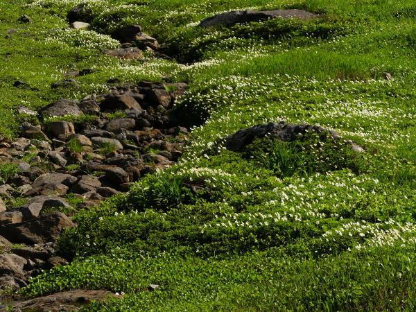 夏の月山 チングルマのお花畑_a0351368_22402543.jpg