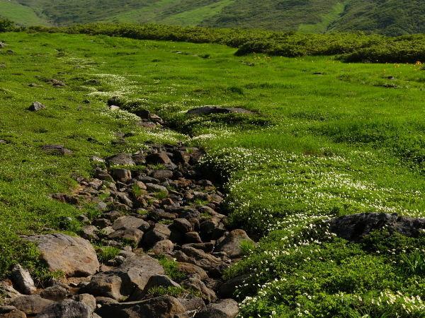 夏の月山 チングルマのお花畑_a0351368_22414990.jpg