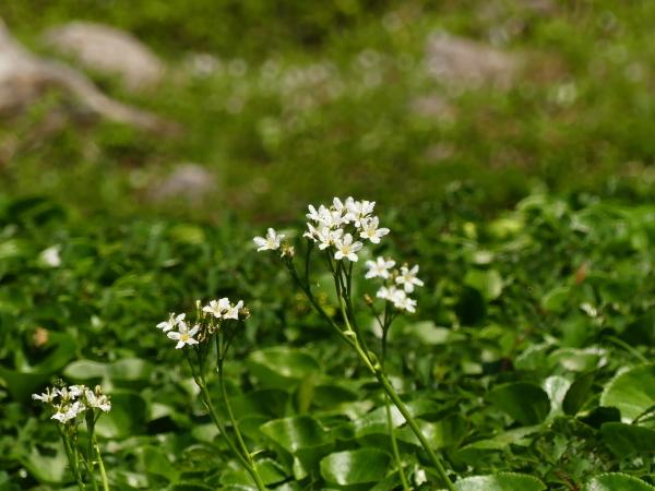 夏の月山 チングルマのお花畑_a0351368_23235127.jpg