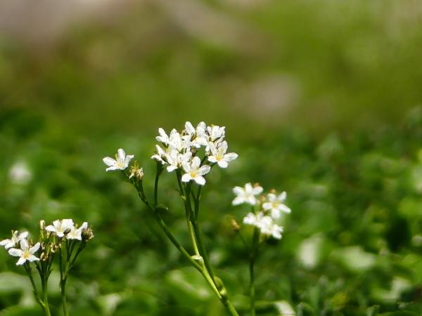 夏の月山 チングルマのお花畑_a0351368_23243803.jpg