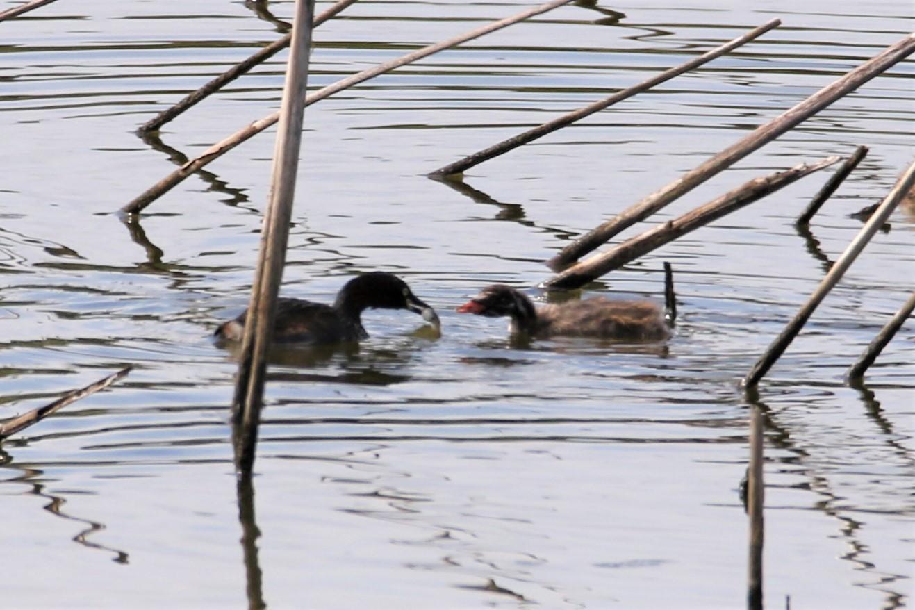 サギまみれの上の池・・・★先週末の鳥類園(2019.8.10~12)_e0046474_20541057.jpg