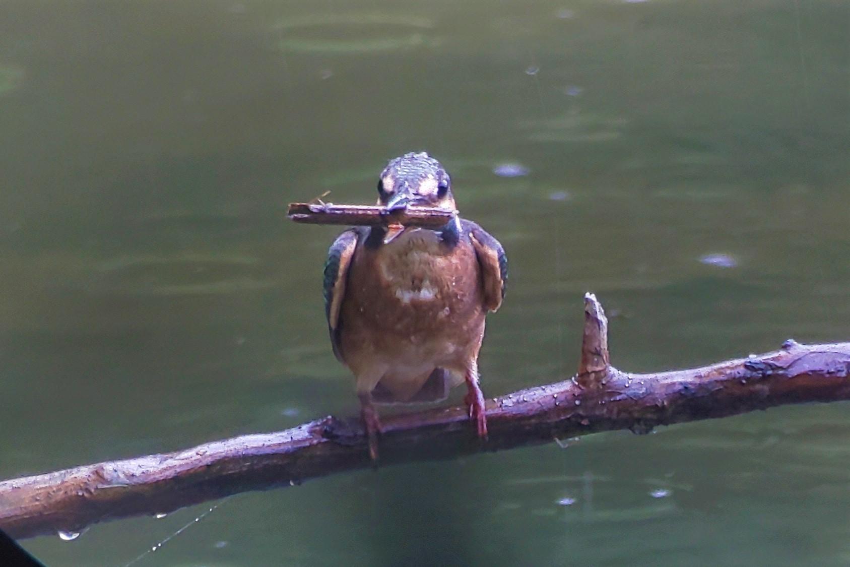 サギまみれの上の池・・・★先週末の鳥類園(2019.8.10~12)_e0046474_20542759.jpg