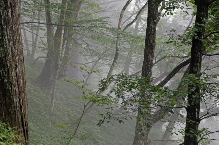 濃霧の中のレンゲショウマ_e0305388_23192511.jpg