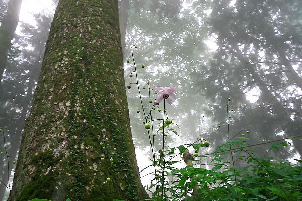 濃霧の中のレンゲショウマ_e0305388_23193690.jpg