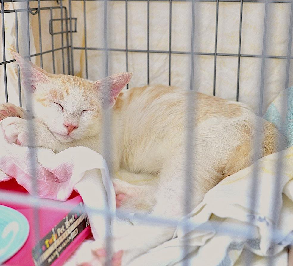 保護された猫の家族にしませんか。糸島から飼い主さん募集中です。_d0073743_19005831.jpeg