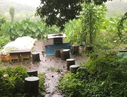サトイモに恵みの雨、でも台風被害が心配8・13_c0014967_17330651.jpg