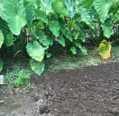 サトイモに恵みの雨、でも台風被害が心配8・13_c0014967_17332651.jpg