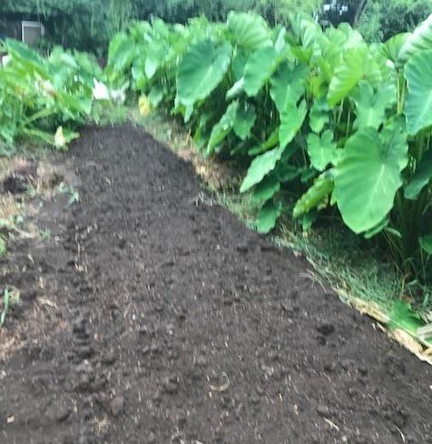 サトイモに恵みの雨、でも台風被害が心配8・13_c0014967_17340769.jpg