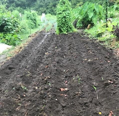 サトイモに恵みの雨、でも台風被害が心配8・13_c0014967_17345441.jpg