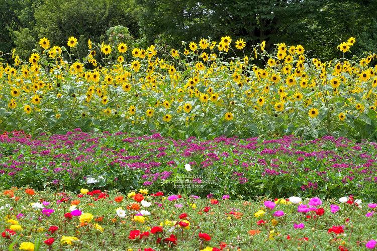夏のお花畑_c0319774_22434637.jpg
