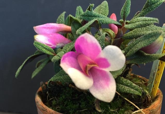 Den.cuthbertosonii bicolor(White&Pink)_d0007501_01560908.jpg