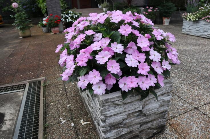 8月中旬ですが 7月の庭です_f0067514_15051148.jpg