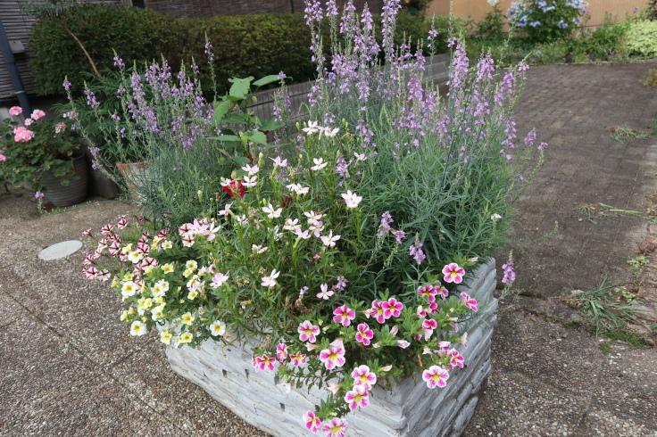 8月中旬ですが 7月の庭です_f0067514_15053628.jpg