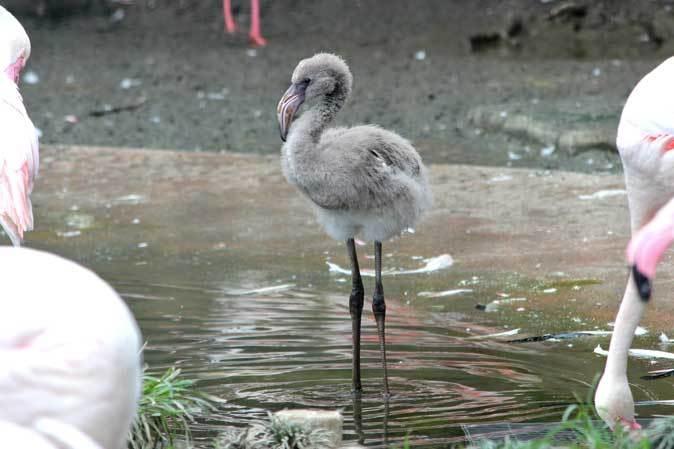 オオフラミンゴとモモイロペリカンのヒナ(多摩動物公園)_b0355317_10331433.jpg