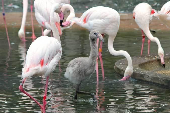 オオフラミンゴとモモイロペリカンのヒナ(多摩動物公園)_b0355317_10333575.jpg