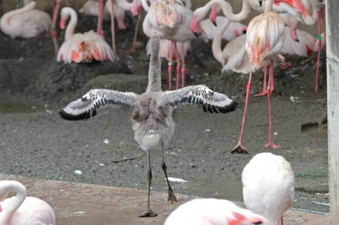 オオフラミンゴとモモイロペリカンのヒナ(多摩動物公園)_b0355317_10343411.jpg