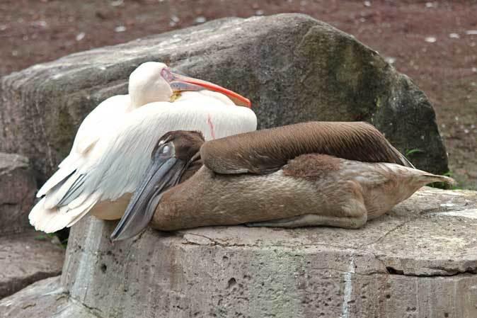 オオフラミンゴとモモイロペリカンのヒナ(多摩動物公園)_b0355317_10350822.jpg
