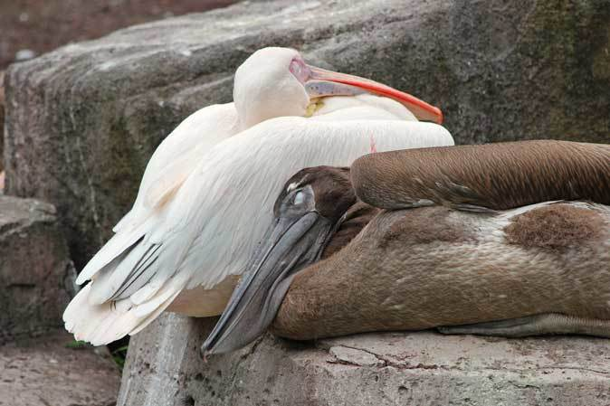 オオフラミンゴとモモイロペリカンのヒナ(多摩動物公園)_b0355317_10364319.jpg