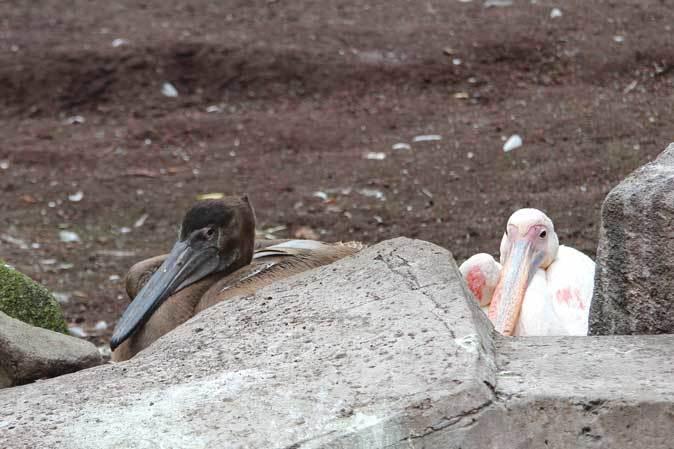 オオフラミンゴとモモイロペリカンのヒナ(多摩動物公園)_b0355317_10371783.jpg