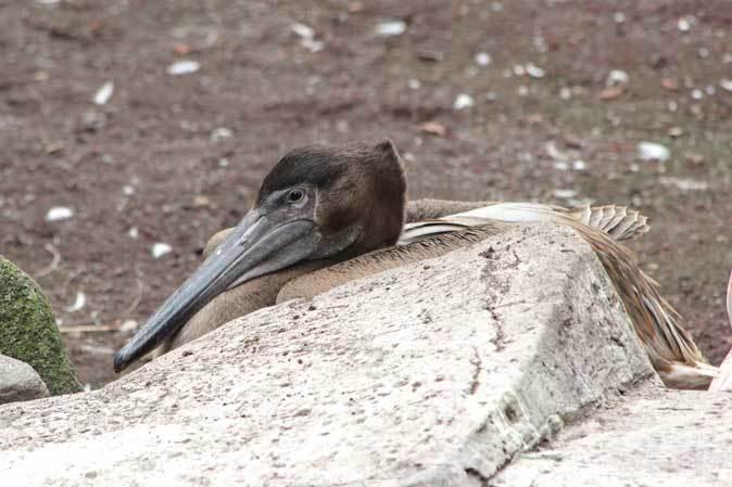 オオフラミンゴとモモイロペリカンのヒナ(多摩動物公園)_b0355317_10374421.jpg