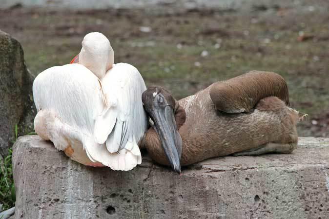 オオフラミンゴとモモイロペリカンのヒナ(多摩動物公園)_b0355317_10391556.jpg