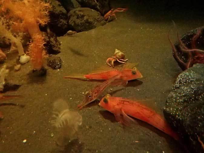 葛西臨海水族園:深海の生物①~五億年の時を超えて、「生きた化石」トリノアシ_b0355317_20310877.jpg