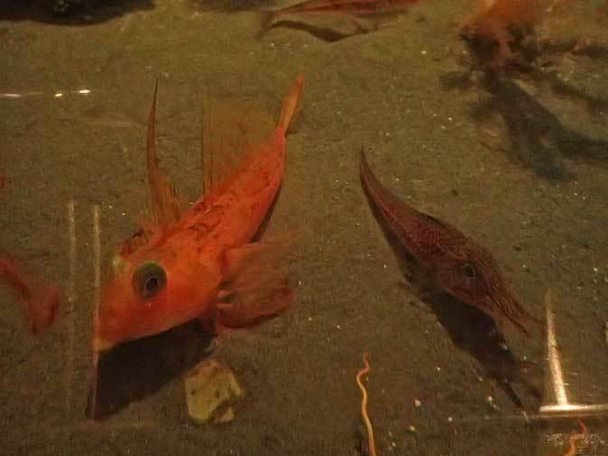 葛西臨海水族園:深海の生物①~五億年の時を超えて、「生きた化石」トリノアシ_b0355317_20314574.jpg
