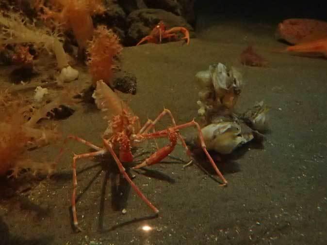 葛西臨海水族園:深海の生物①~五億年の時を超えて、「生きた化石」トリノアシ_b0355317_20383666.jpg