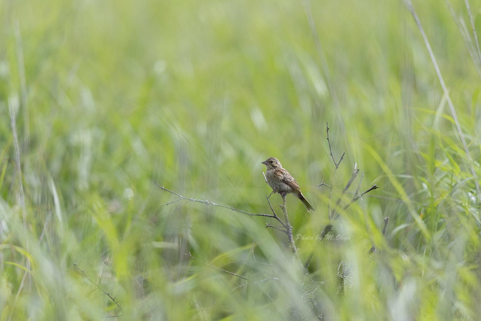 ホオアカの幼鳥_f0003418_10132484.jpg