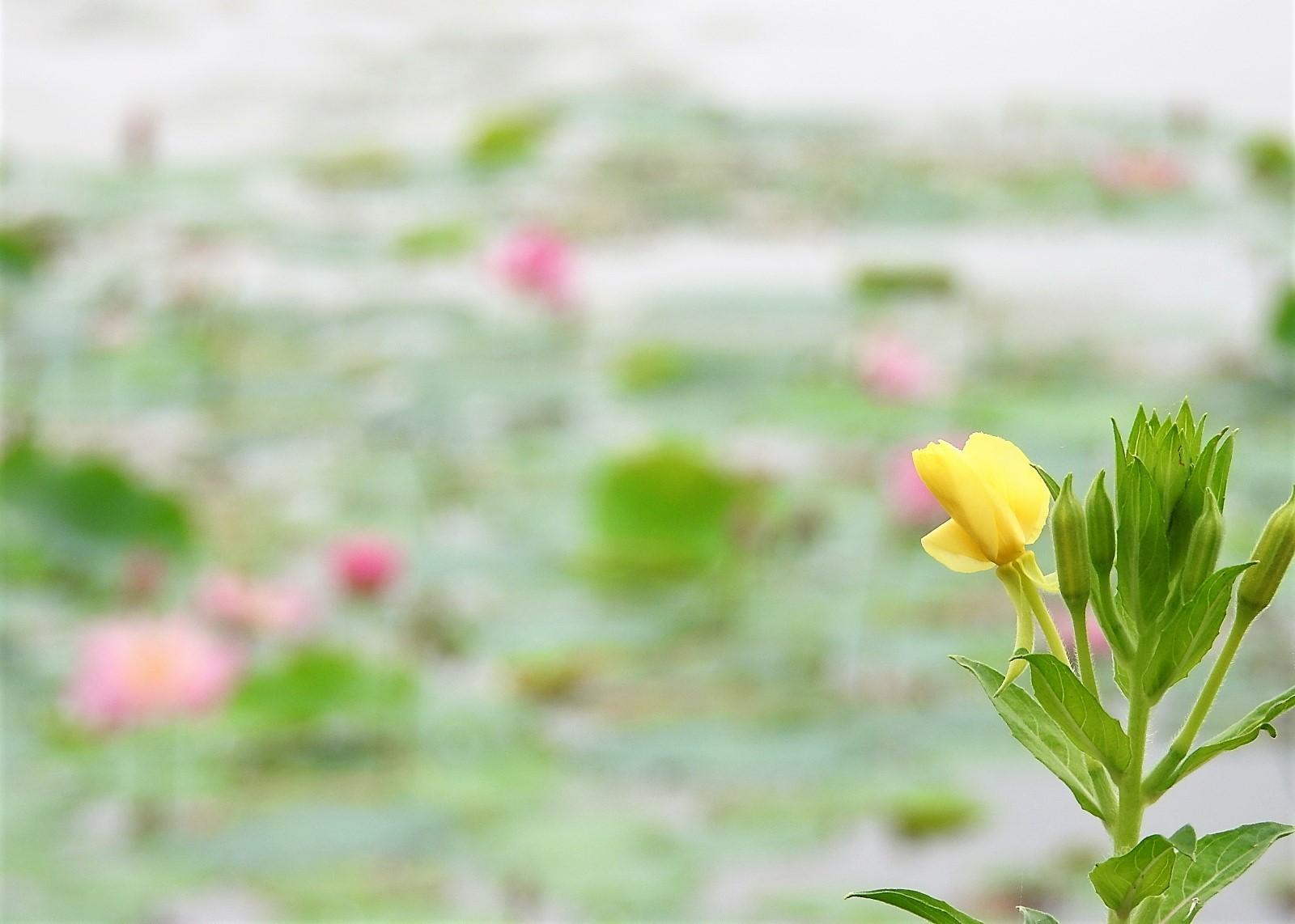 蓮には月見草がよく似合う_e0406450_13543050.jpg