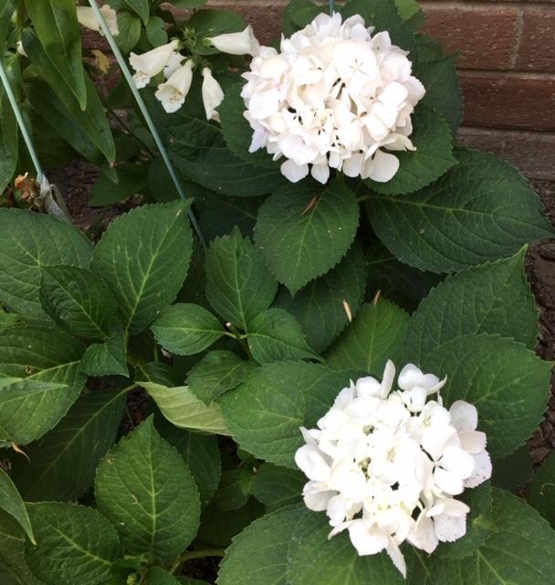 最近の庭ー紫陽花、フォックスグローブ復活_e0350971_13212900.jpg