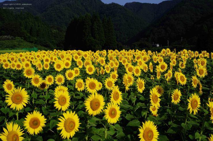 沢谷の向日葵_d0309612_23525243.jpg