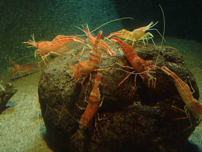 葛西臨海水族園:深海の生物②~ゆらゆらサケビクニンとグソク三昧_b0355317_11371341.jpg
