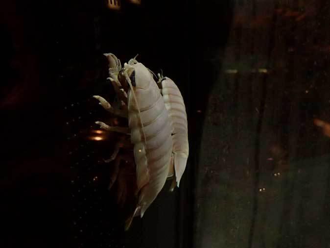 葛西臨海水族園:深海の生物②~ゆらゆらサケビクニンとグソク三昧_b0355317_11410138.jpg