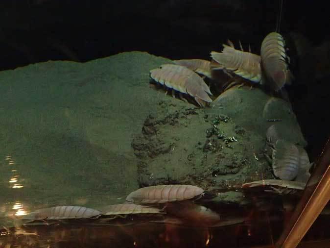 葛西臨海水族園:深海の生物②~ゆらゆらサケビクニンとグソク三昧_b0355317_11413439.jpg