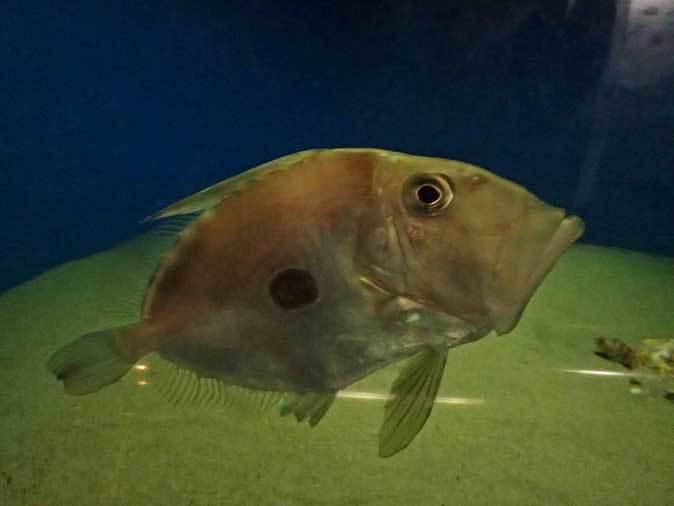 葛西臨海水族園:深海の生物②~ゆらゆらサケビクニンとグソク三昧_b0355317_11433012.jpg