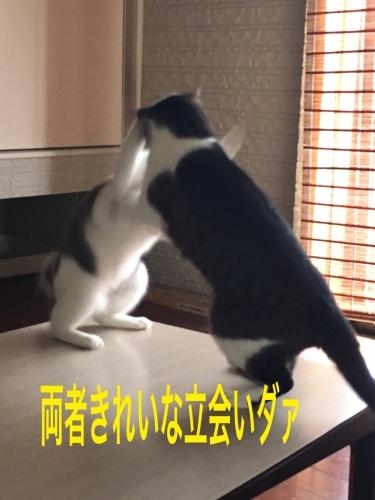 にゃんこ劇場「夏場所!」_c0366722_07535974.jpeg