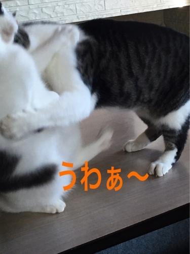 にゃんこ劇場「夏場所!」_c0366722_07541799.jpeg