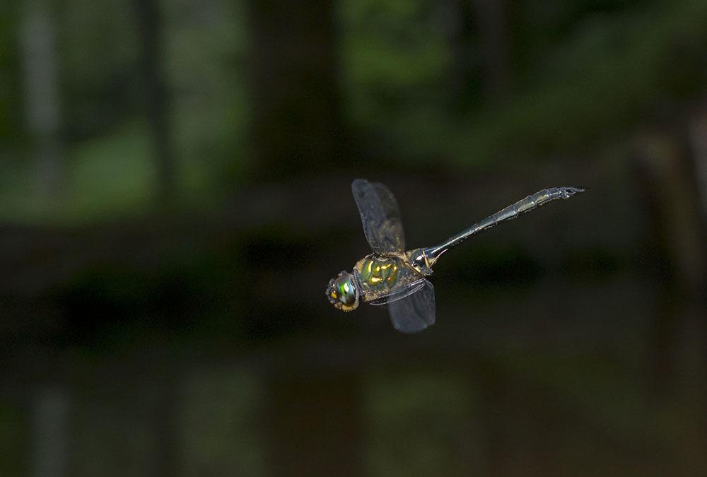 タカネトンボ 産卵確認 & 縄張り飛翔撮影_f0324026_02033315.jpg